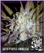 Short Stuff seedbank Auto Purple Amnesia Cannabis Seeds UK